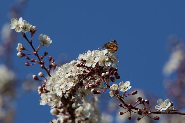 Archiearis parthenias - Orange Underwing, Woodside Nurseries, Austerfield.