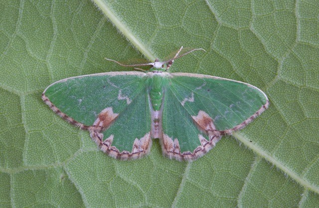 Comibaena bajularia - Blotched Emerald, Woodside Nurseries, Austerfield.
