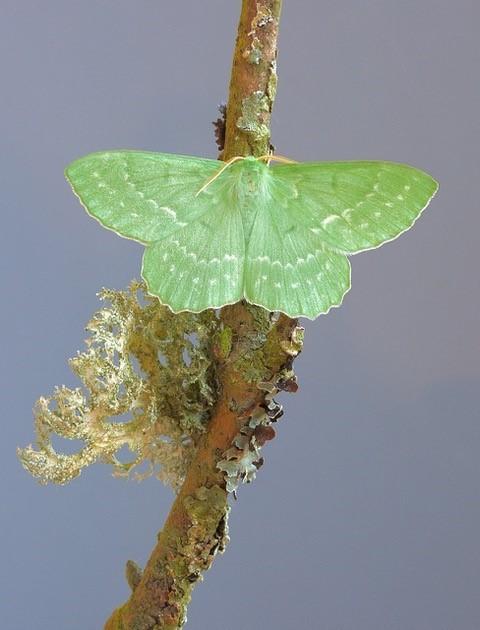 Geometra papilionaria - Large Emerald, Woodside Nurseries, Austerfield.