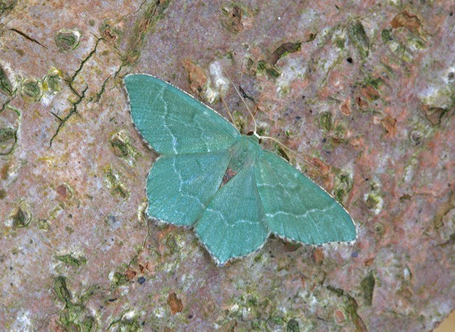 Hemithea aestivaria - Common Emerald, Woodside Nurseries, Austerfield.