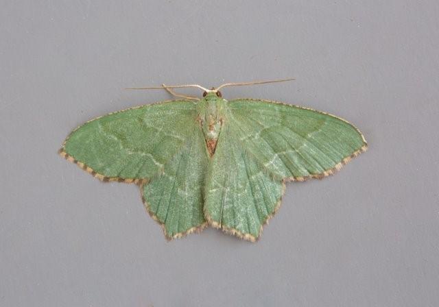Hemithea aestivaria - Common Emerald, Woodside Nurseries, Austerfield.