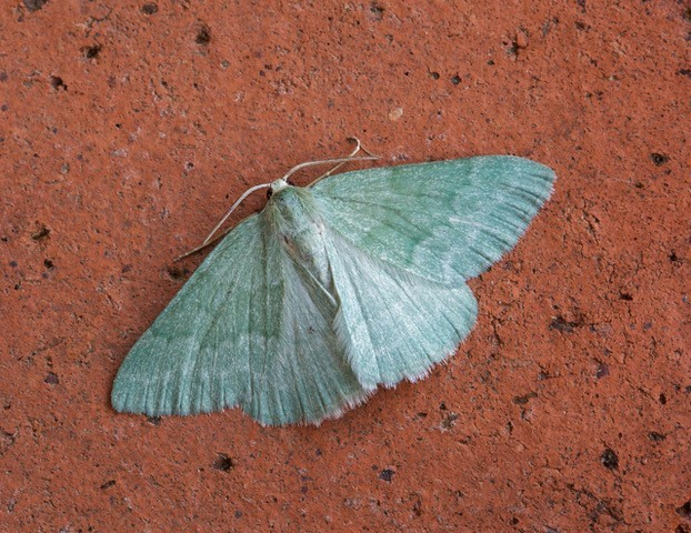 Pseudoterpna pruinata - Grass Emerald, Woodside Nurseries, Austerfield.