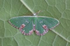 Comibaena bajularia - Blotched Emerald, Woodside Nurseries, Austerfield.