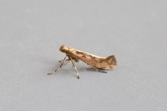 Calybites phasianipennella, (typical form), Woodside Nurseries, Austerfield.