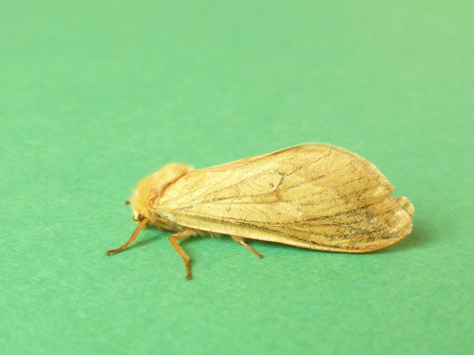 Hepialus humali - Ghost Swift (female), Kirk Smeaton