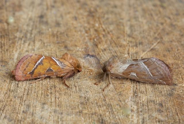 Triodia sylvina - Orange Swift, (male and female), Woodside Nurseries, Austerfield.