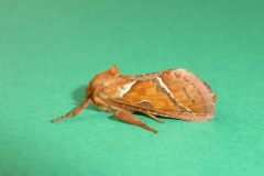 Hepialus sylvina - Orange Swift (male), Kirk Smeaton