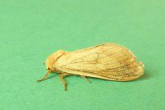 Hepialus humali - Ghost Swift (female), Kirk Smeaton