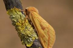 Hepialus humuli - Ghost Moth (female), Woodside Nurseries, Austerfield.