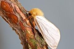 Hepialus humuli - Ghost Moth (male), Woodside Nurseries, Austerfield.