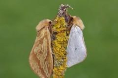 Hepialus humuli - Ghost Moth, (male and female), Woodside Nurseries, Austerfield.