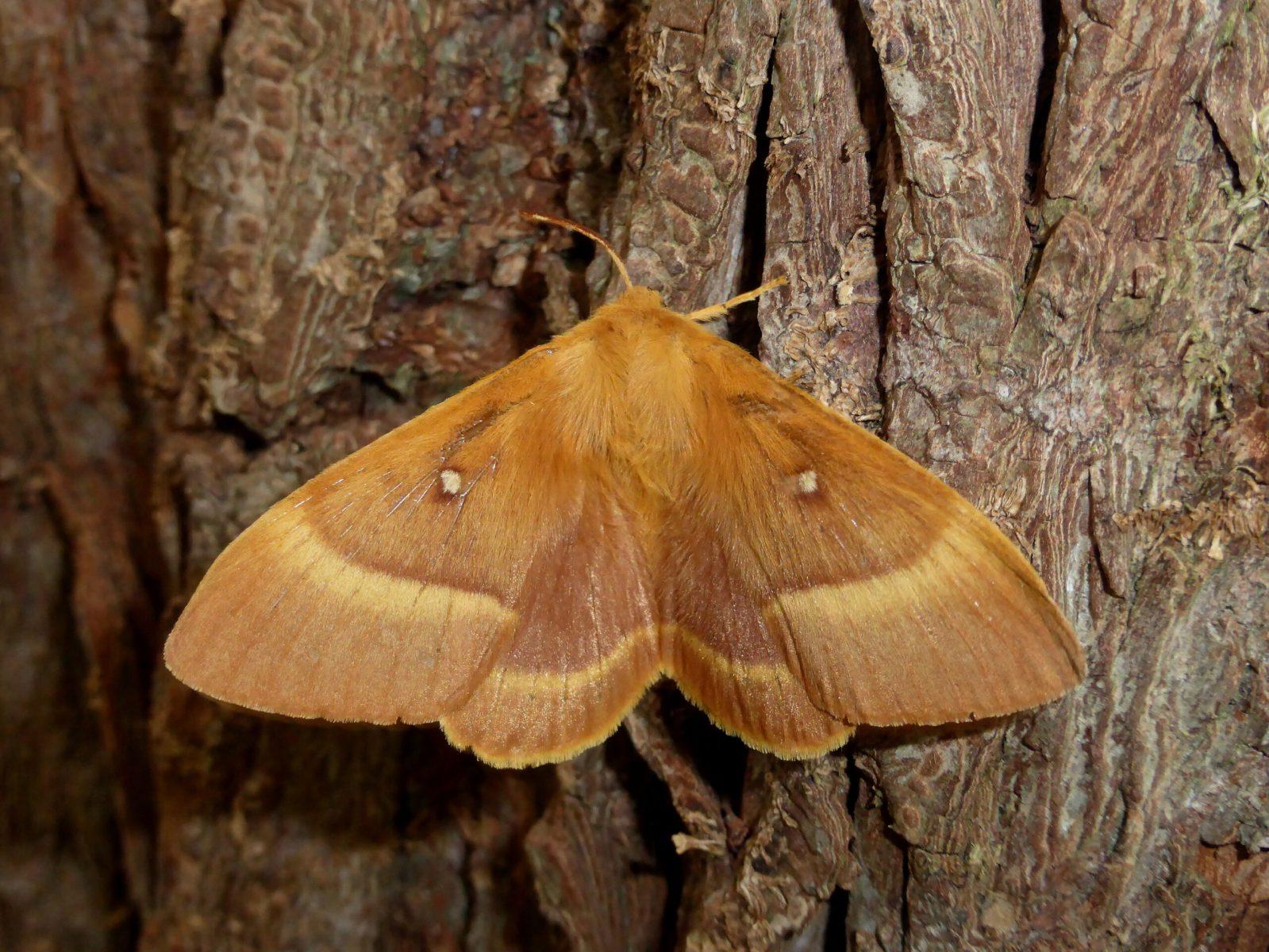 Lasiocampa quercus - Oak Eggar (female) - Kirk Smeaton