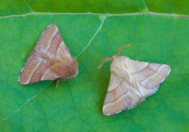 Malacosoma neustria - The Lackey, Woodside Nurseries, Austerfield.