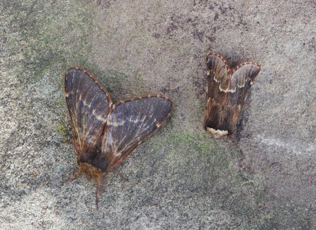 Poecilocampa populi - December Moth (male and female), Woodside Nurseries, Austerfield.