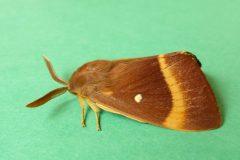 Lasiocampa quercus - Oak Eggar (male) - Kirk Smeaton