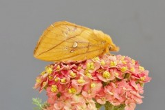 Euthrix potatoria -, The Drinker (female), Woodside Nurseries, Austerfield.