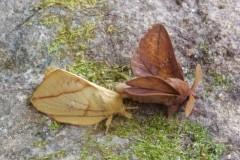 Euthrix potatoria - The Drinker (male and female), Woodside Nurseries, Austerfield.