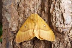 Lasiocampa quercus - Oak Eggar, Woodside Nurseries, Austerfield.