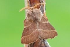 Malacosoma neustria - The Lackey, Woodside Nurseries, Austerfield.