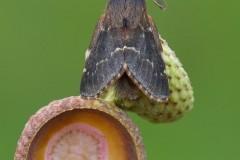 Poecilocampa populi - December Moth, Woodside Nurseries, Austerfield.