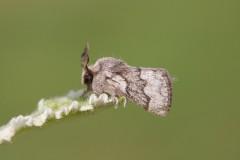 Trichiura crataegi - Pale Eggar, Woodside Nurseries, Austerfield.