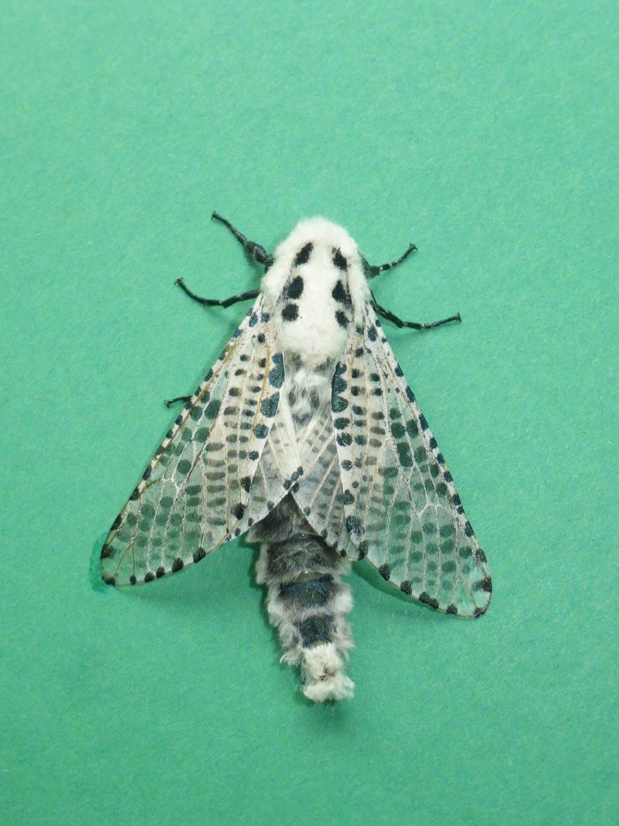 Zeuzera pyrina - Leopard Moth - Kirk Smeaton