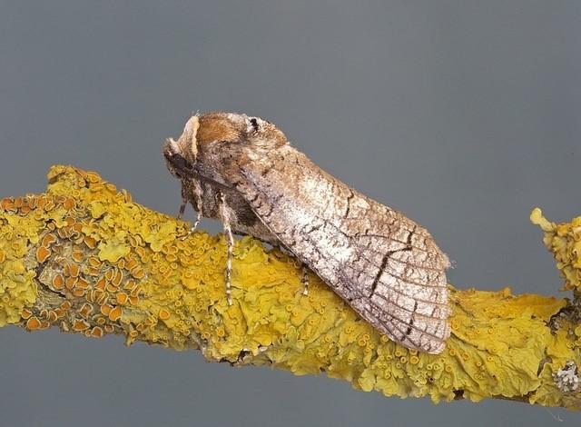Cossus cossus - Goat Moth, Woodside Nurseries, Austerfield.