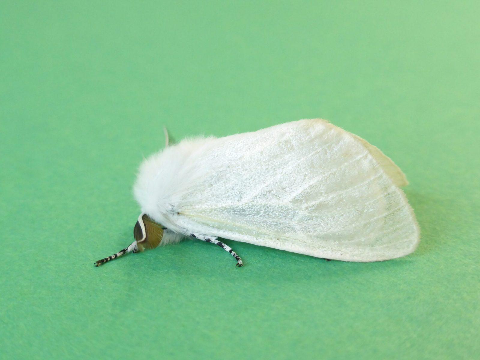 Leucoma salicis - White Satin Moth - Kirk Smeaton.