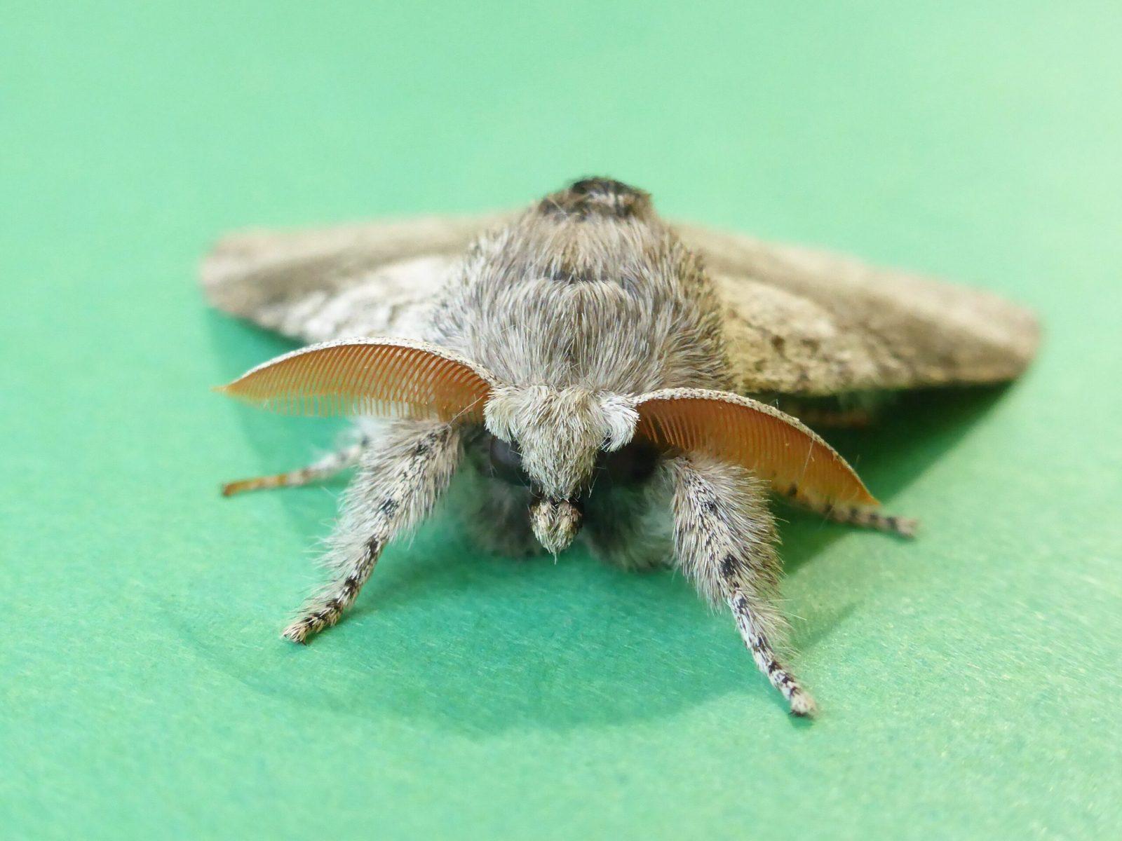 Calliteara pudibunda - Pale Tussock Moth - Kirk Smeaton