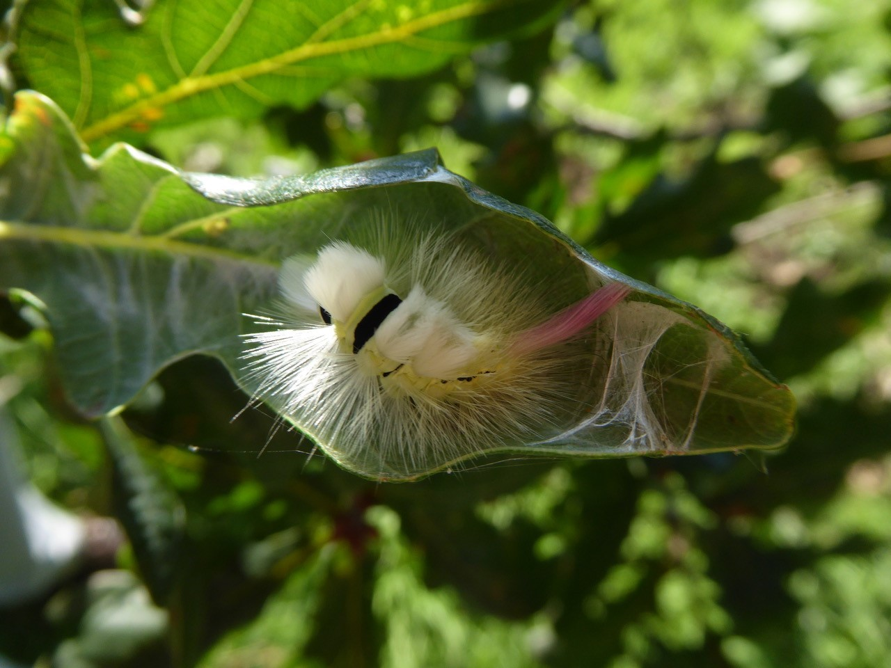Calliteara pudibunda - Pale Tussock (caterpillar), Intake, Doncaster