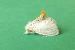 Euproctis similis - Yellow-tail (male) - Kirk Smeaton