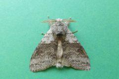 Calliteara pudibunda - Pale Tussock Moth - Kirk Smeaton.