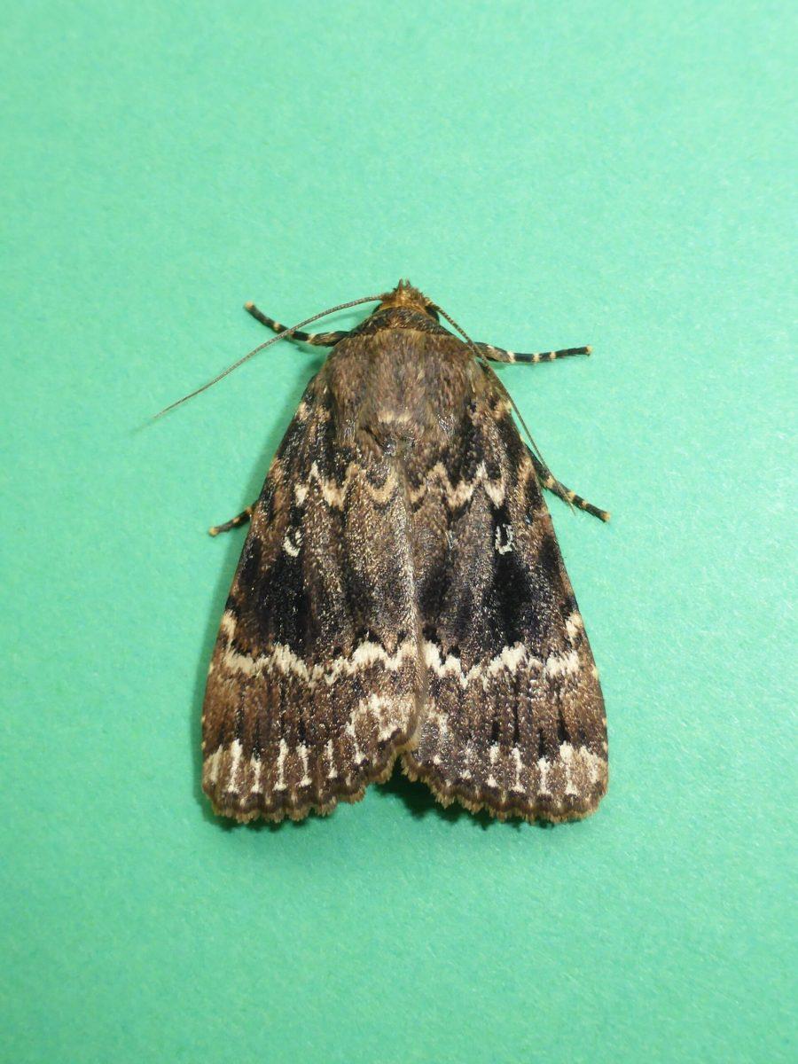 Amphipyra pyramidea - Copper Underwing - Kirk Smeaton