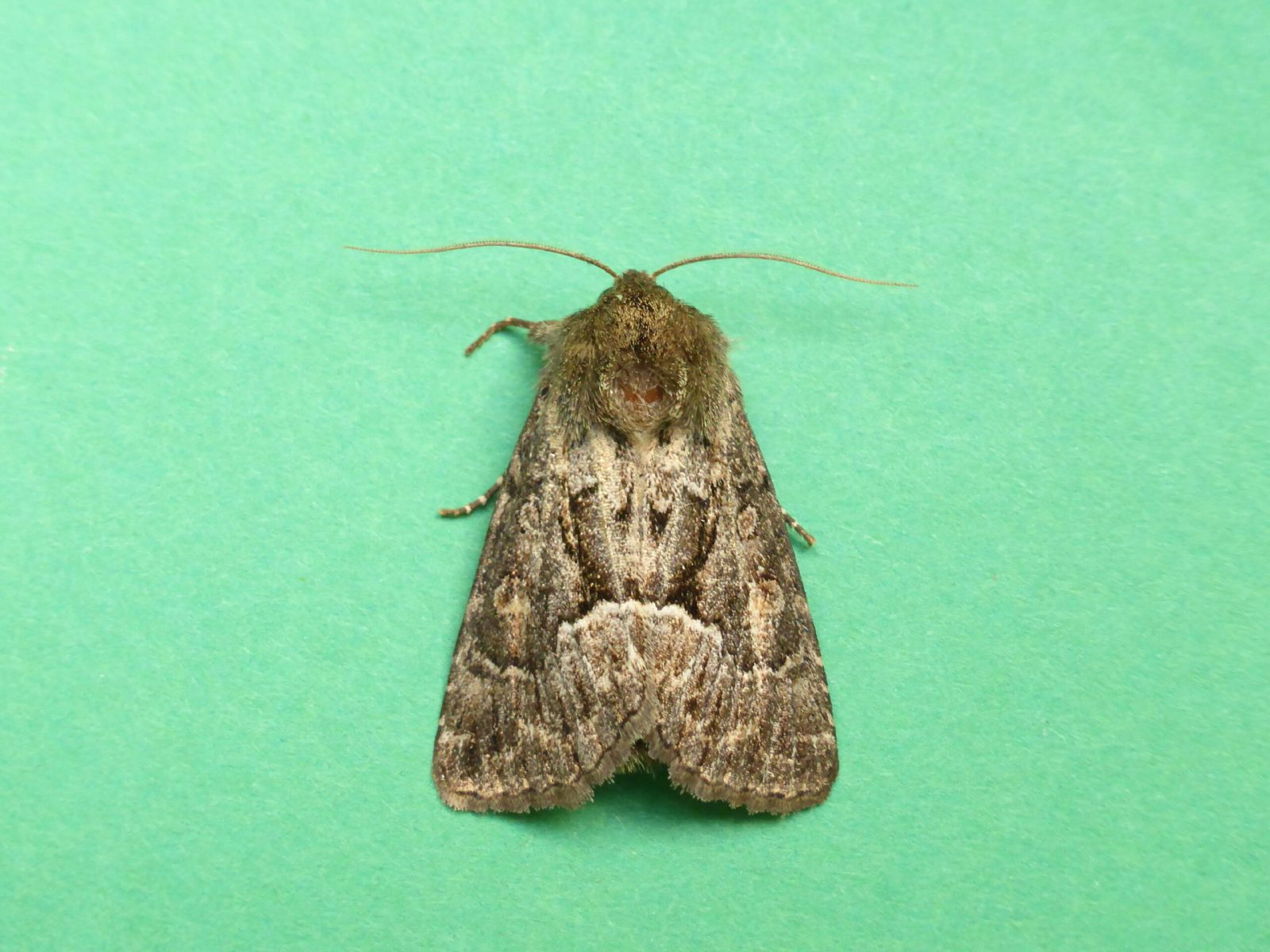 Thalpophila matura - Straw Underwing - Kirk Smeaton