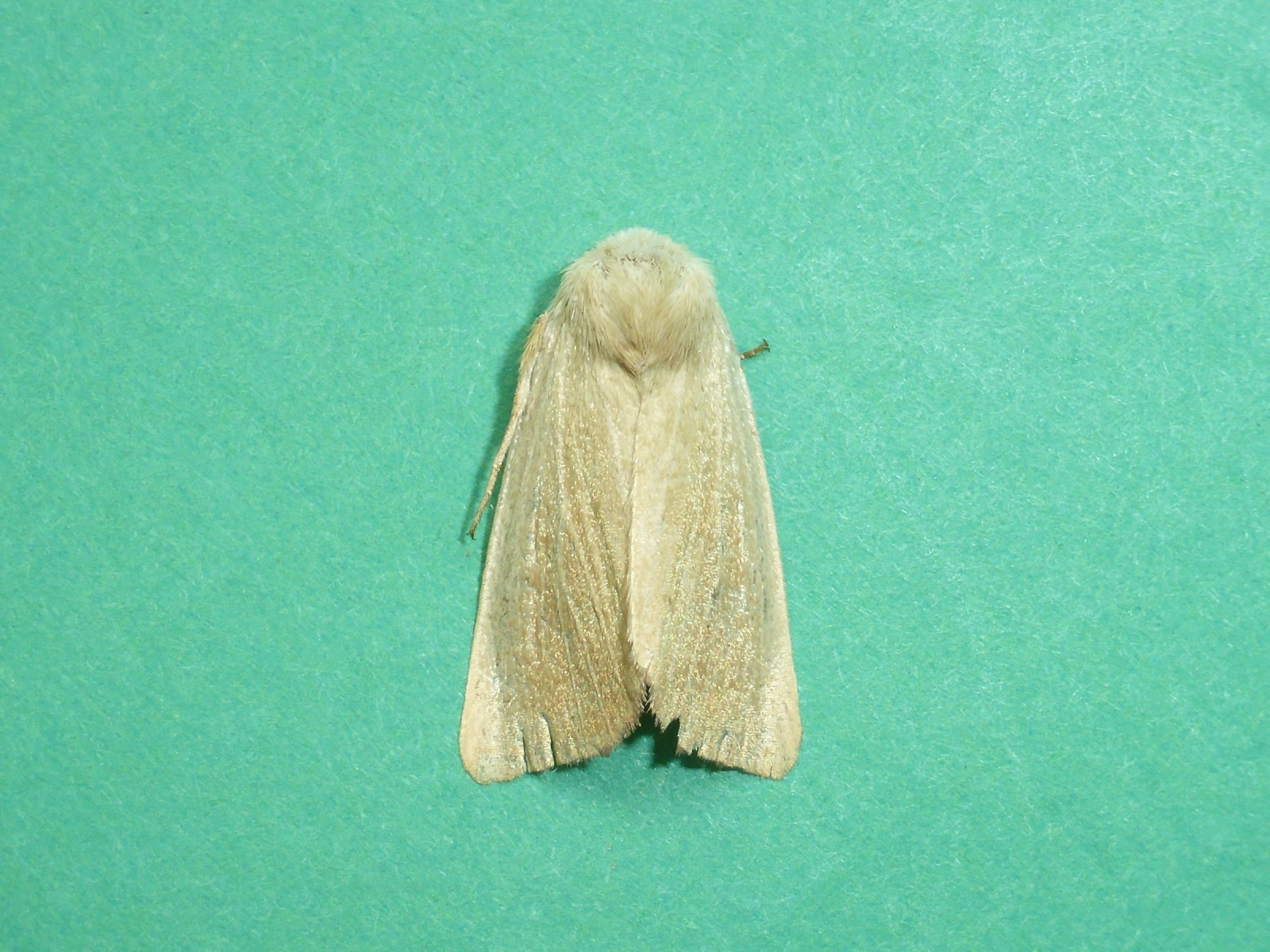 Arenostola phragmitidis -  Fen Wainscot - Kirk Smeaton
