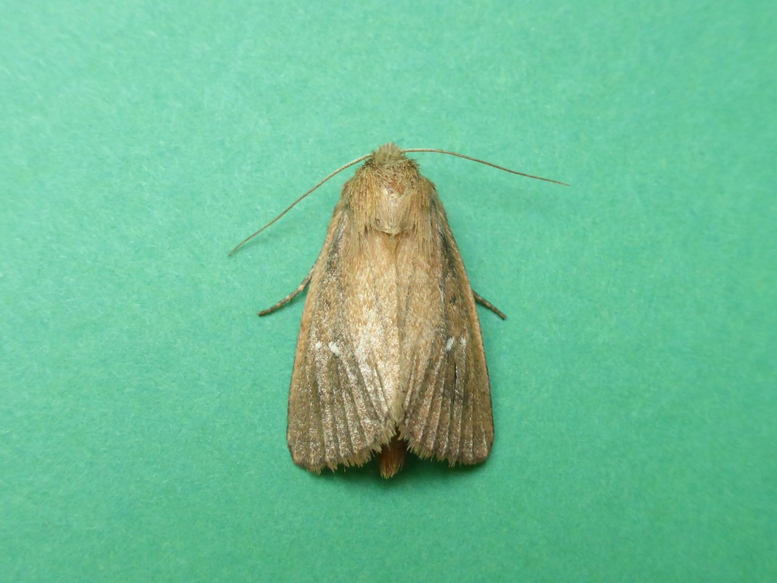 Archanara geminipuncta - Twin-spotted Wainscot - Kirk Smeaton