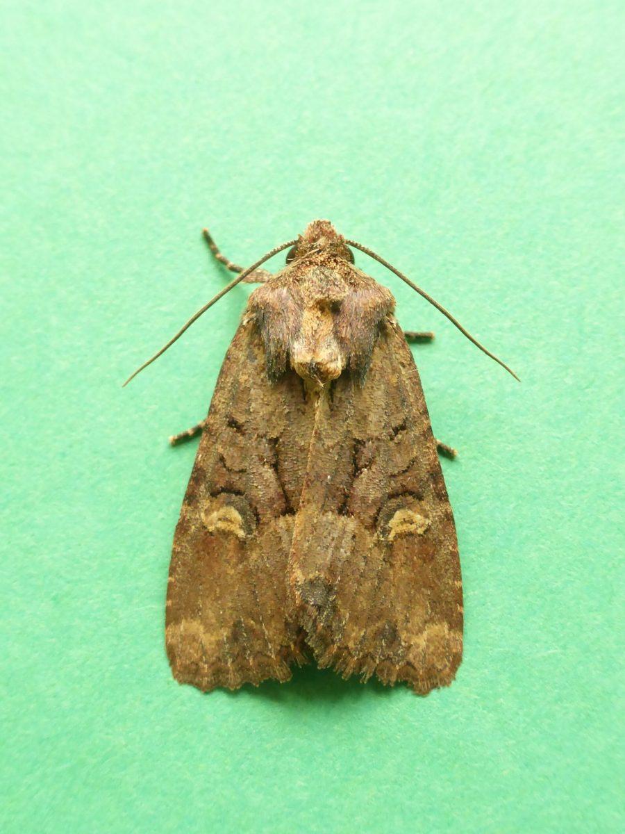 Mesapamea secalis - Common Rustic agg. - Kirk Smeaton