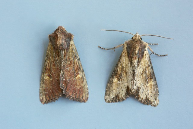 Apamea crenata - Clouded-bordered Brindle, Austerfield.