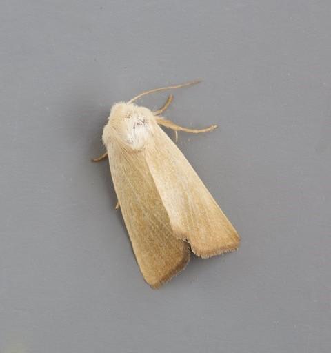 Arenostola phragmitidis - Fen Wainscot, Austerfield.