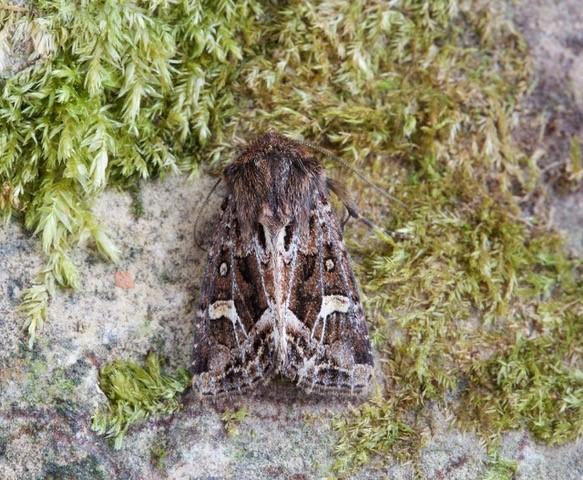 Celaena haworthii  Haworth's Minor, Austerfield.