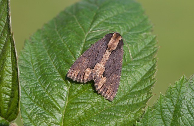 Dypterygia scabriuscula - Bird's Wing, Austerfield.
