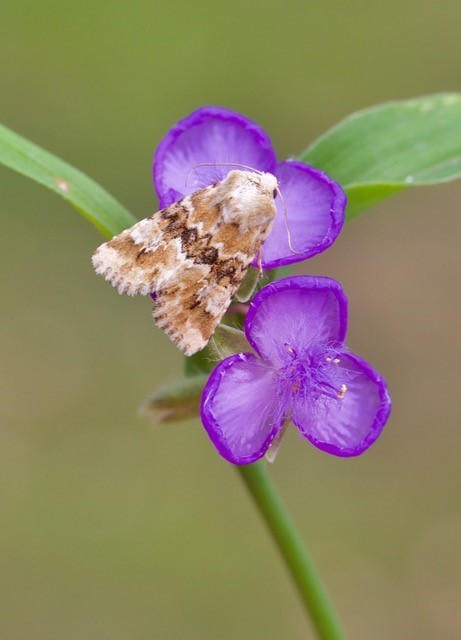 Eremobia ochroleuca - Dusky Sallow, Austerfield.