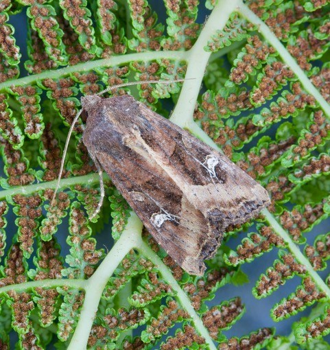 Helotropha leucostigma - The Crescent, Austerfield.