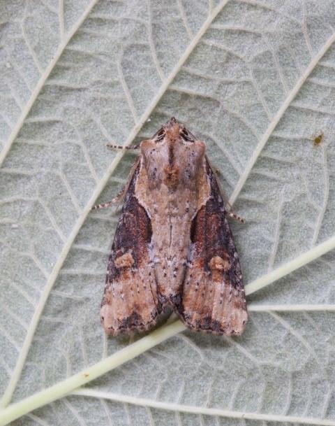 Lateroligia ophiogramma - Double Lobed, Austerfield.