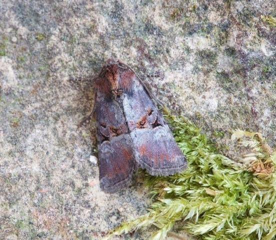Litoligia literosa - Rosy Minor, Austerfield.