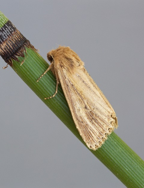 Nonagria typhae - Bulrush Wainscot, Austerfield.
