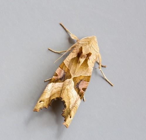 Phlogophora meticulosa - Angle Shades, Austerfield.