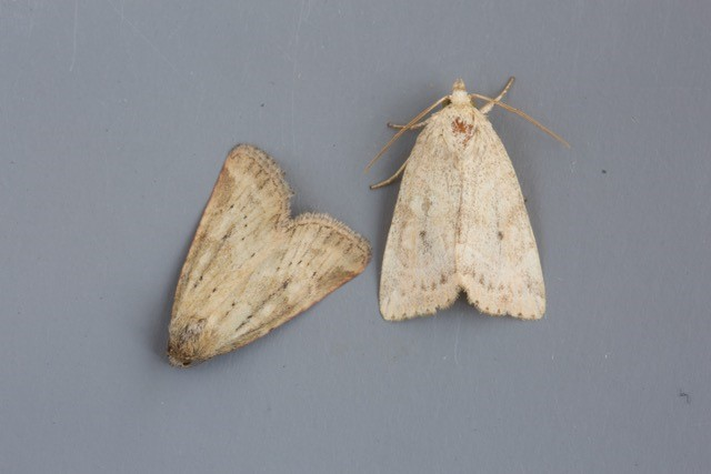 Photedes minima - Small Dotted Buff, Austerfield.