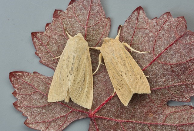 Rhizedra lutosa - Large Wainscot, Austerfield.