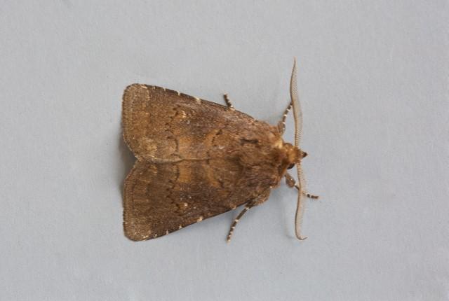 Rusina ferruginea - Brown Rustic, Austerfield.